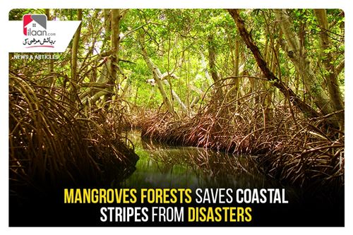 Mangroves forests safes coastal stripes from disasters